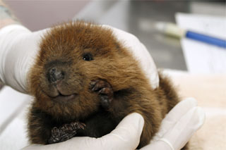 Beaver-photo-for-blog
