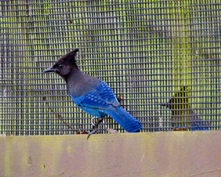 Steller's Jay, PAWS Campus