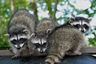 Three Raccoons