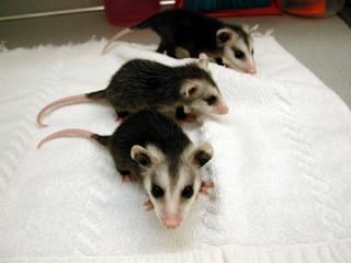Three little Virginia Opossums at about 60-70 days old