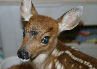 BT Deer