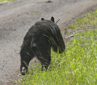 Black Bear released back into the wild after successful rehabilitation.