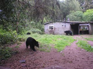 These Black Bears were coming dangerously close to people's homes, because one homeowner was feeding them regularly, a dangerous situation for both the humans and the bears.