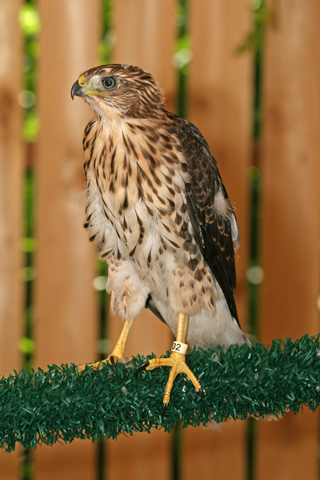 Cooper's Hawk 101541 in raptor mew 071510 KM (5)