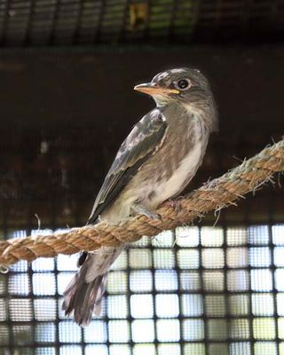 Olive-sided Flycatcher at PAWS Wildlife Center