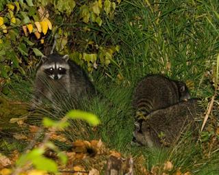 Raccoons in wild