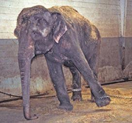 Lota_former_circus_elephant