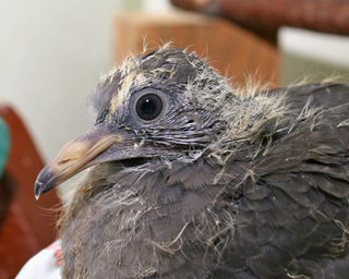 Band-tailed Pigeon 10-2374 in ward cage 091610 KM