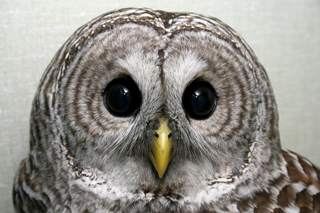 Barred Owl 102583 in ward cage, 101910 KM (3)