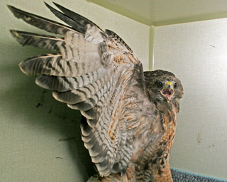 Red-tailed-Hawk-102565-in-ward-cage-101610-KM-(2)---cc