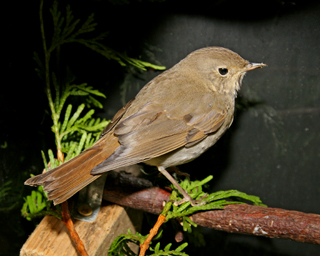 Hermit Thrush 102608 in ward aquarium 102010 touche up KM
