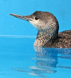 Red-throated-Loon-in-pool-Web