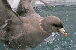Northern-Fulmar-in-pool-Web