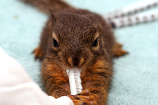 Douglas Squirrel being hand-fed (5-6 weeks old)