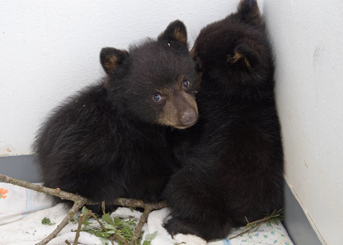 Black-Bears-100784-and-100785,-runs-iso-052710-KM-(2)-web