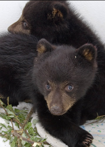 Black-Bears-100784-and-100785,-runs-iso-052710-KM-(5)-web