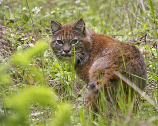 Bobcat released back into the wild after successful rehabilitation.