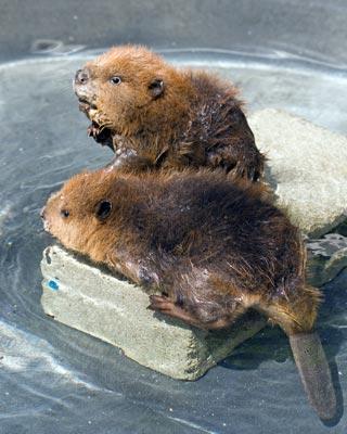 Beavers-01_KM