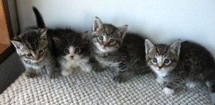 Four baby kittens2