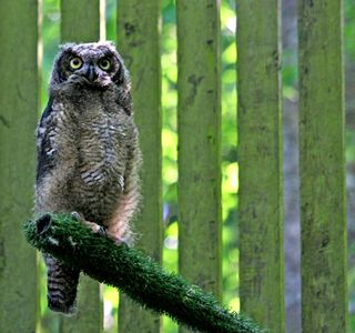 Great Horned Owl in a flight pen at PAWS Wildlife Center