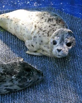 Orphaned Harbor Seals at PAWS Wildlife Center