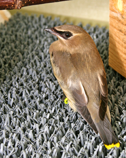 Cedar Waxwing in care at PAWS
