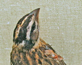 Black-headed Grosbeak 10-2365 cat attack victim in ward cage 091610 KM (2)