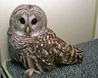 Barred Owl 102583 in ward cage, 101910 KM (2)