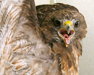 Red-tailed-Hawk-102565-in-ward-cage-101610-KM-(3)---cc