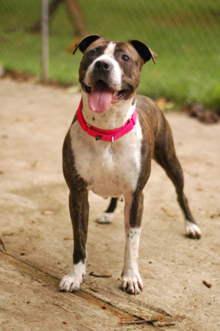 Adoptable Dog Cora at PAWS