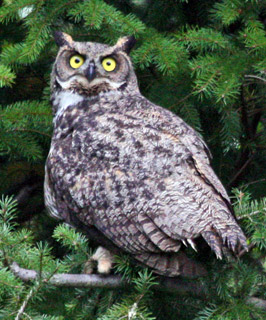 Great-Horned-Owl-102351-Release-102810-KM-(19)---web