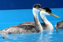 Western-Grebes-in-pool-Web