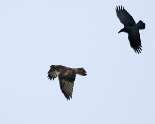 A Crow flies after the Red-tailed Hawk and voices his anger, but he is no match for the hawk's strong flight.