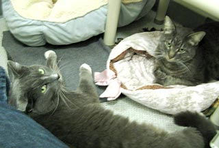 Baby (left) and Scooby (right) are a bonded pair of cats.