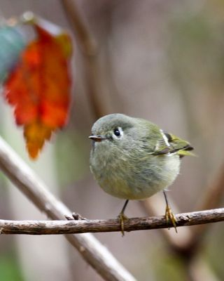 18 Ruby-crowned Kinglet, PAWS Campus 040211 (2) KM