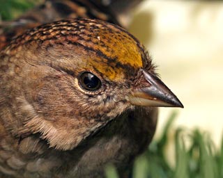 Golden-crowned-Sparrow-102831-KM-web