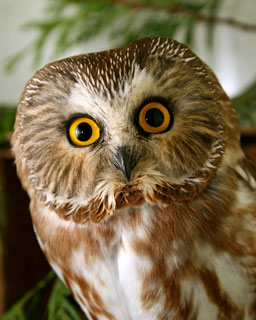 Northern-Saw-whet-Owl-102852-in-Ward-cage-121610-KM_web