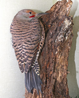 Northern-Flicker-102839-cat-attack-in-Ward-cage-121610-KM-(1)_web
