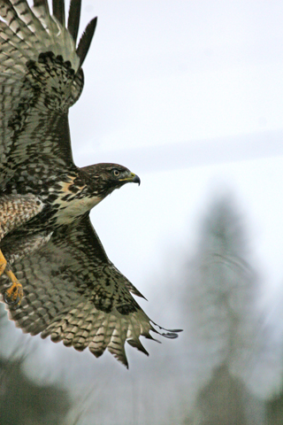 The Red-tailed Hawk, now strong and healthy again, soars as he is released back into the wild.