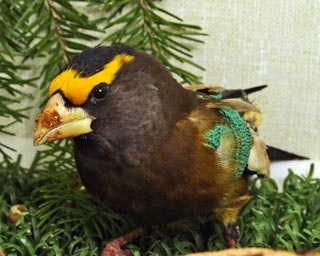 Evening-Grosbeak-110046-in-ward-cage-web