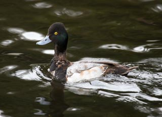 Lesser-Scaup-110012-Silver-Lake,-Everett-012511-web2