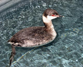 Horned-Grebe-110192-in-pool-031711_web