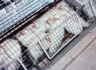 Battery-caged-chickens_web
