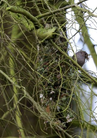 05 Bushtit Nest in progress, PAWS Campus 040211 km