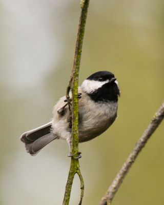 12 Black-capped Chickadee, PAWS Campus 040211 (8) KM