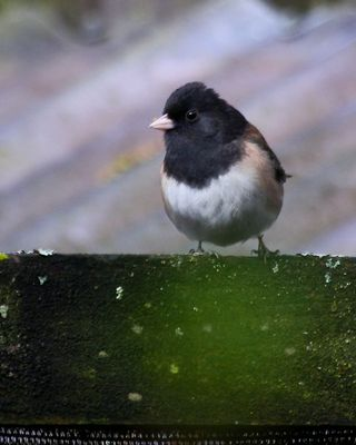 17 Dark-eyed Junco, PAWS Campus 040211 (2) KM