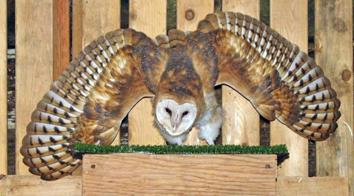Barn-Owl-110141-in-raptor-cage_web