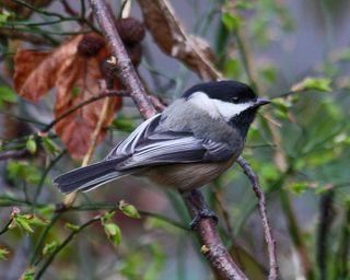 15 Black-capped Chickadee, PAWS Campus 040211 KM