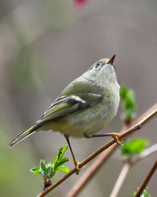 22 Ruby-crowned Kinglet, PAWS Campus 040211 (6) KM