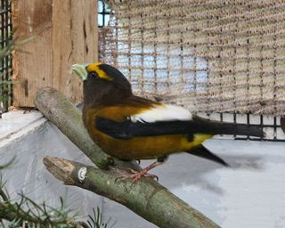 Evening Grosbeak 110440 (2) in cage